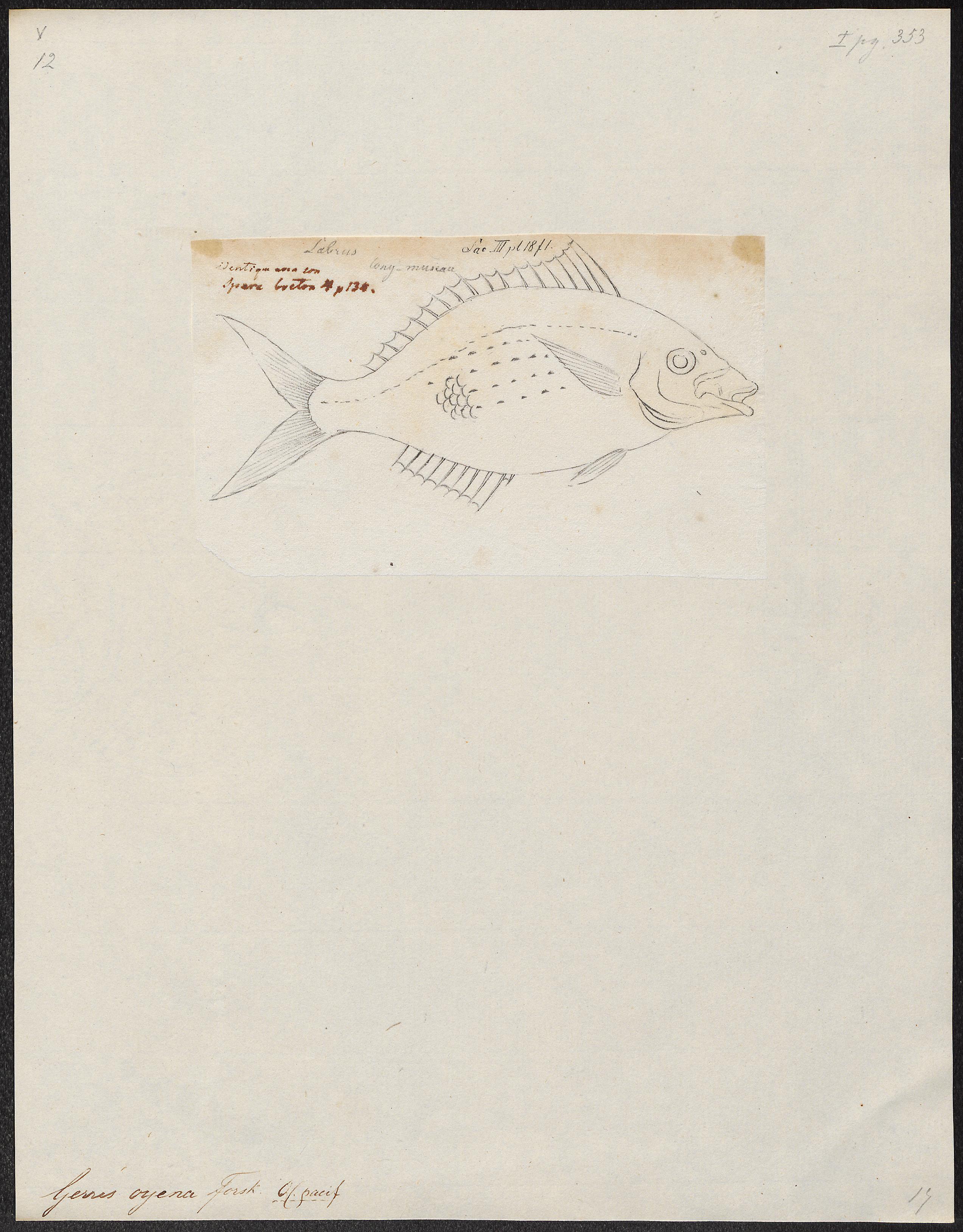 Image of <i>Gerres oyena</i> (Forsskål 1775)
