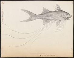 Image of <i>Polynemus multifilis</i> Temminck & Schlegel 1843