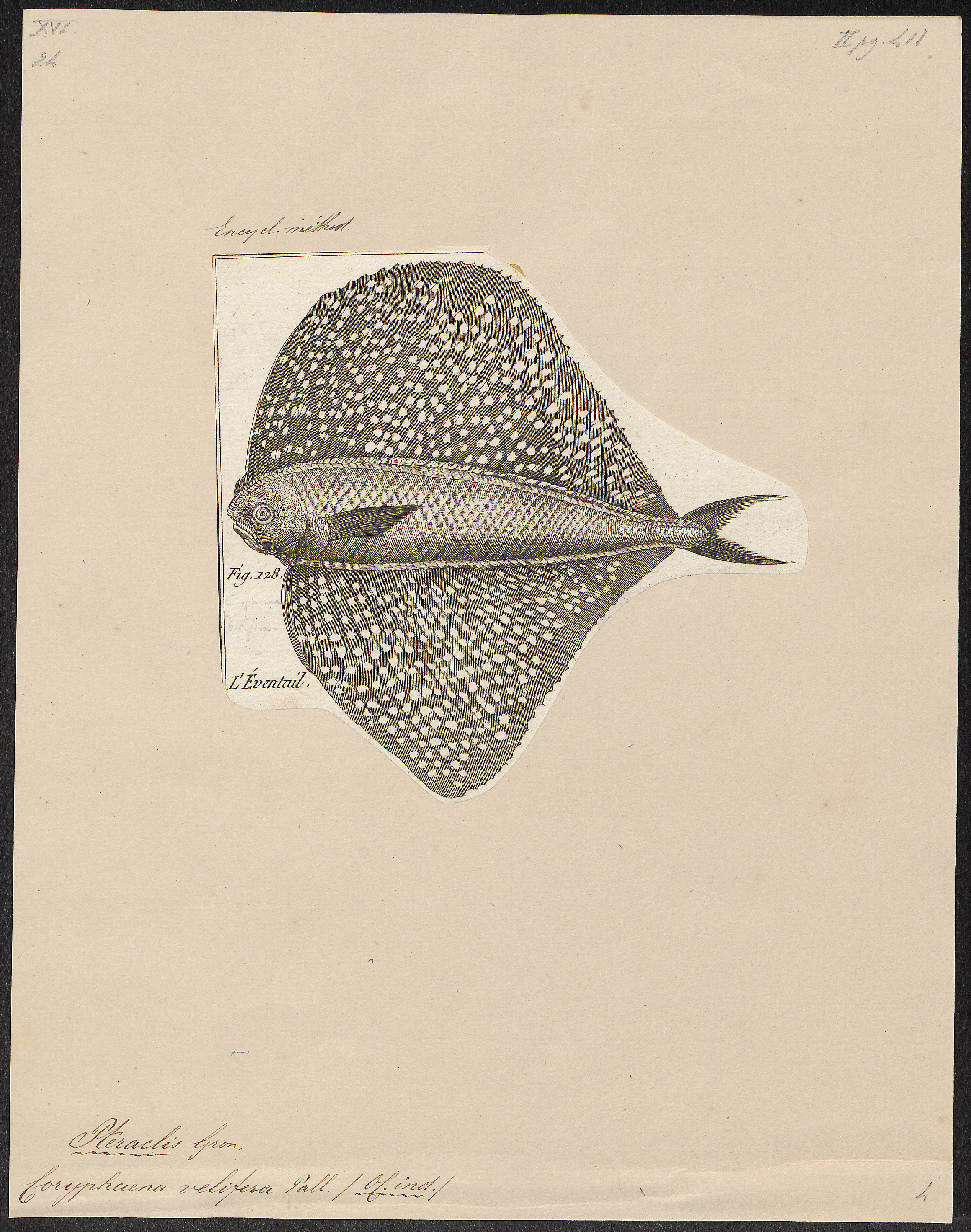 Image of Spotted fanfish