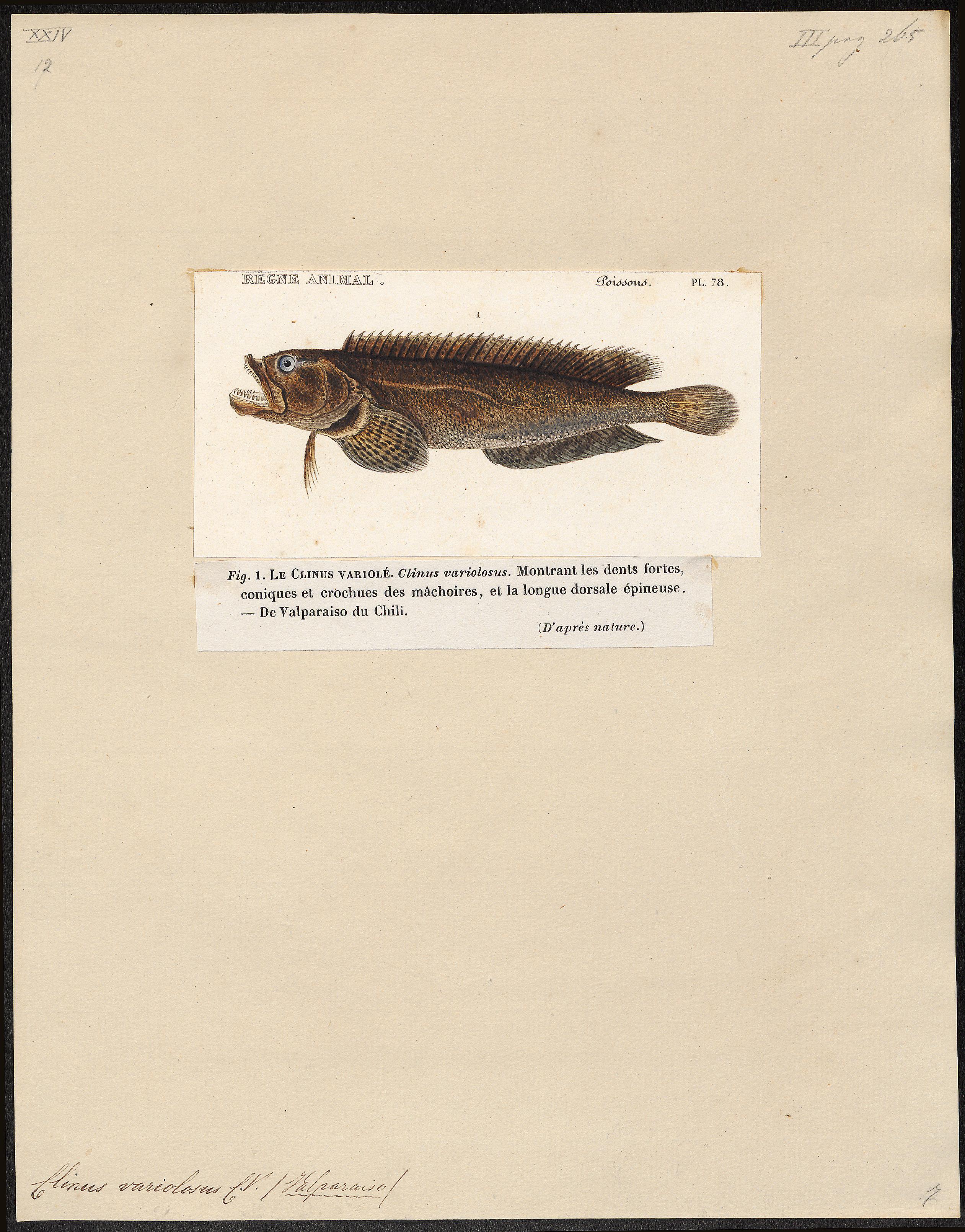 Image of <i>Auchenionchus variolosus</i> (Valenciennes 1836)