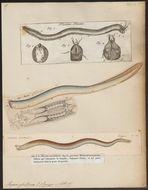 Image of Atlantic Hagfish