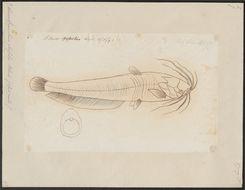 Image of Stinging catfish