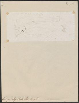 Image of <i>Eutropiichthys vacha</i> (Hamilton 1822)