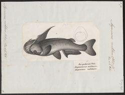Image of <i>Ageneiosus militaris</i> Valenciennes 1835