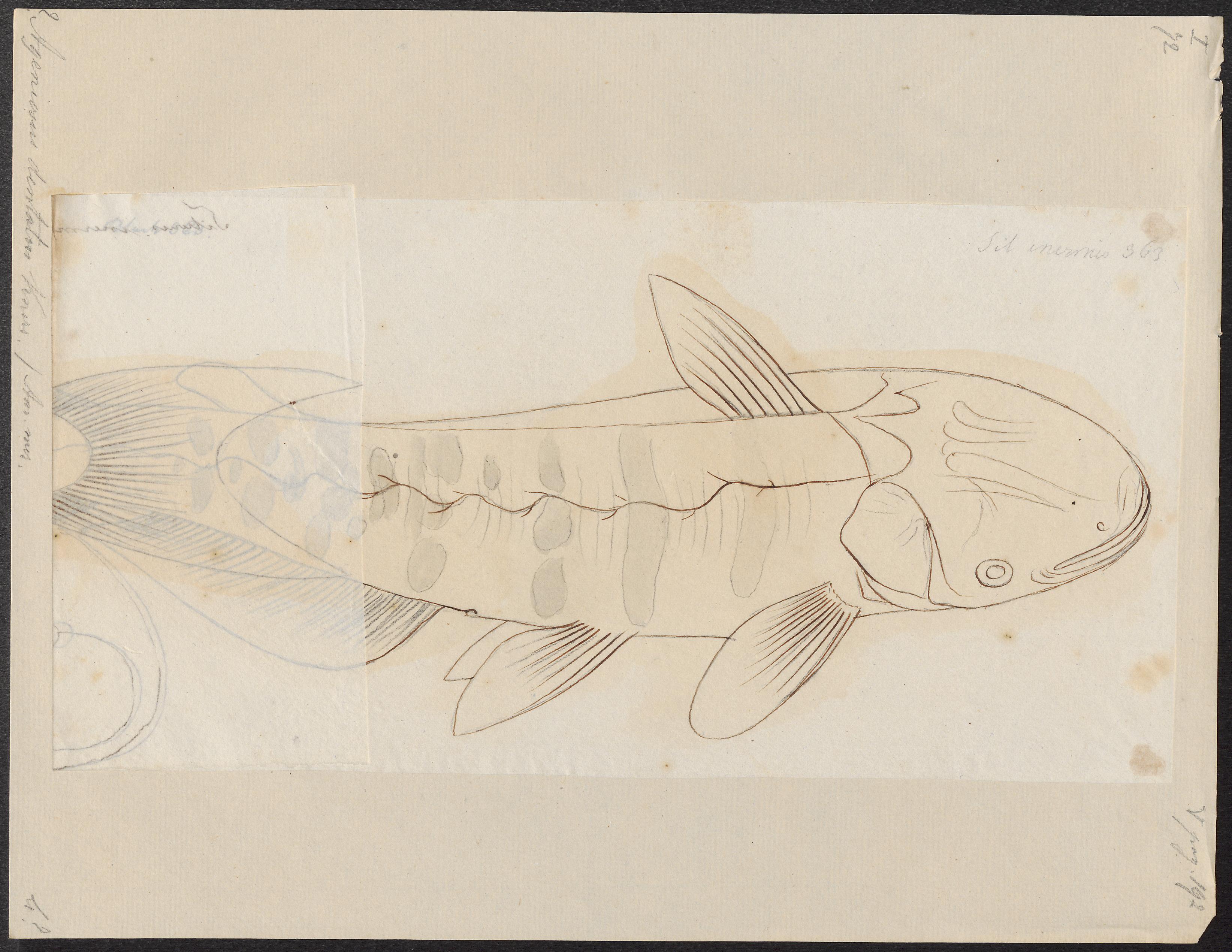 Image of <i>Ageneiosus ucayalensis</i> Castelnau 1855