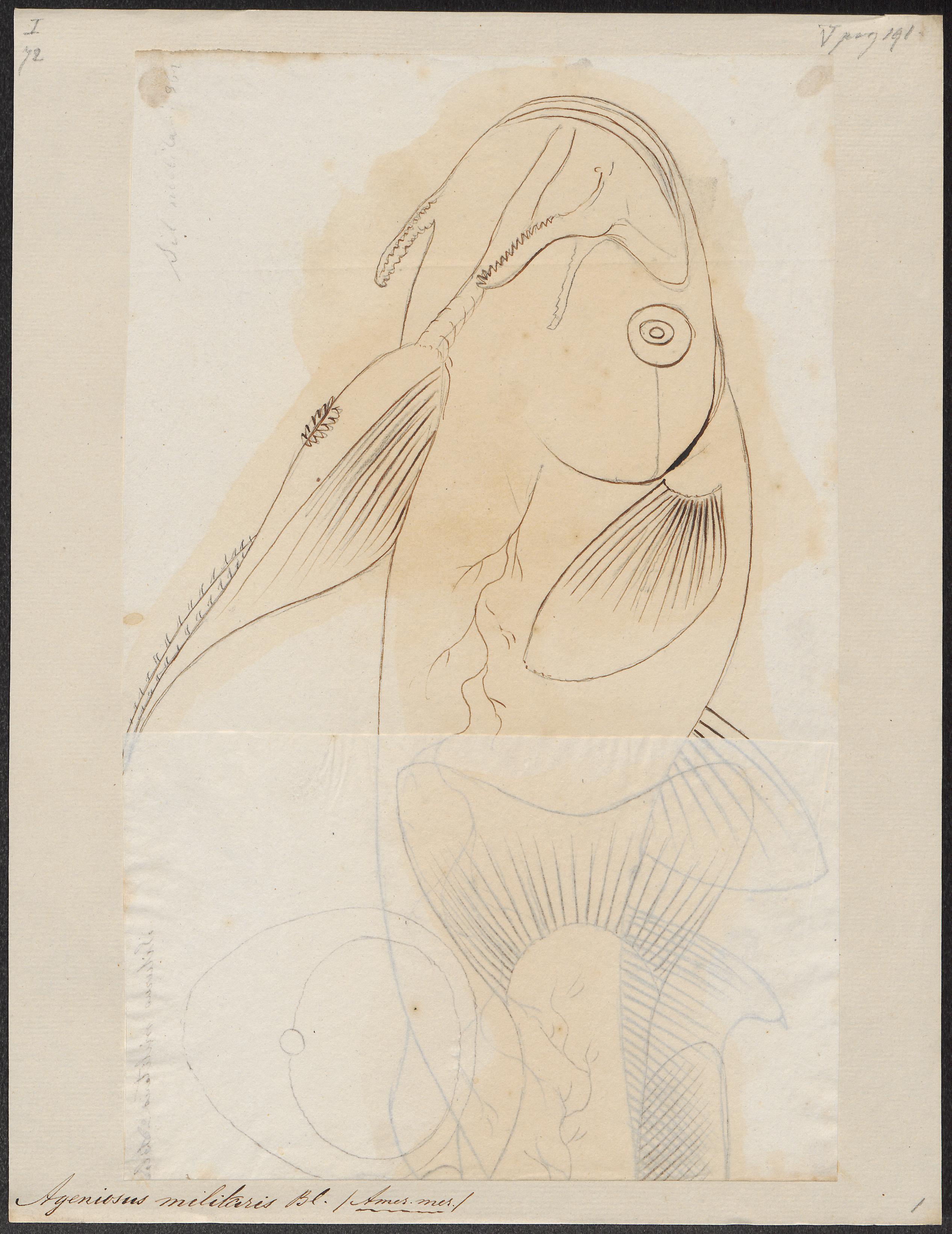 Image of Catfish