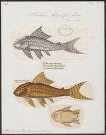 Image of suckermouth catfish