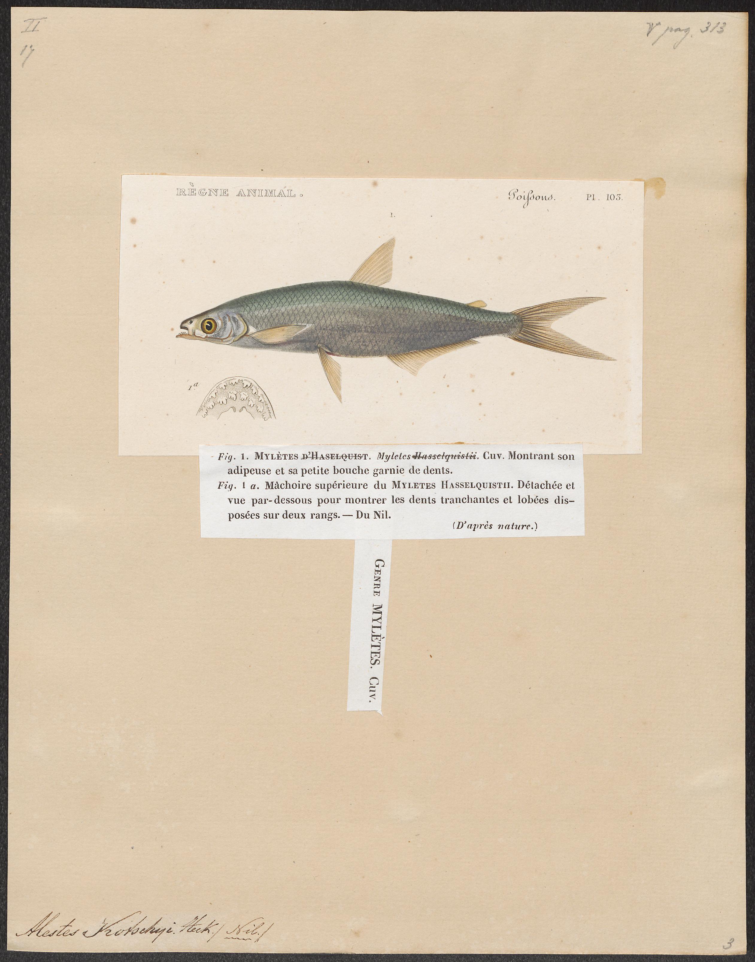 Image of Pebbly Fish
