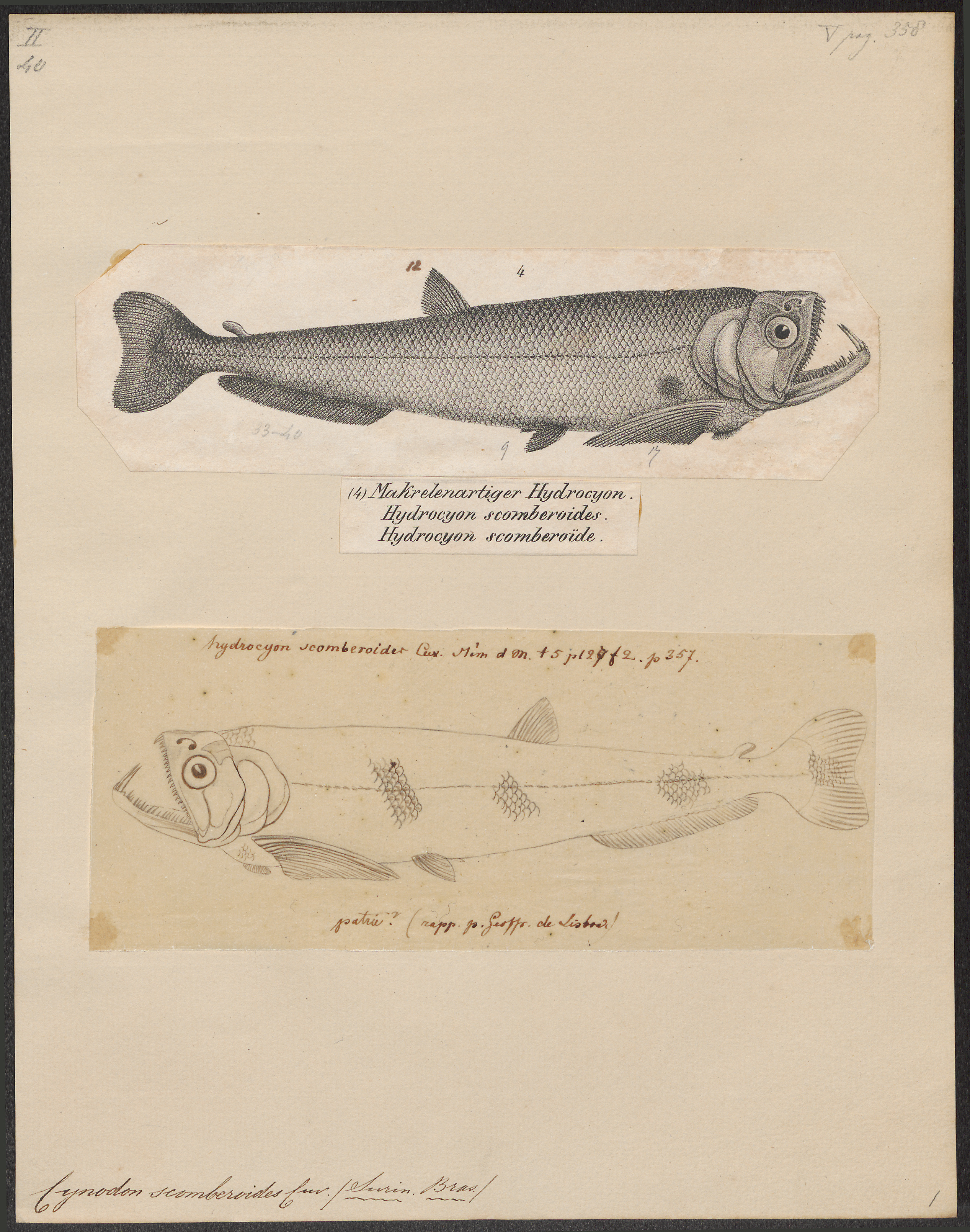 Image of <i>Hydrolycus scomberoides</i> (Cuvier 1819)