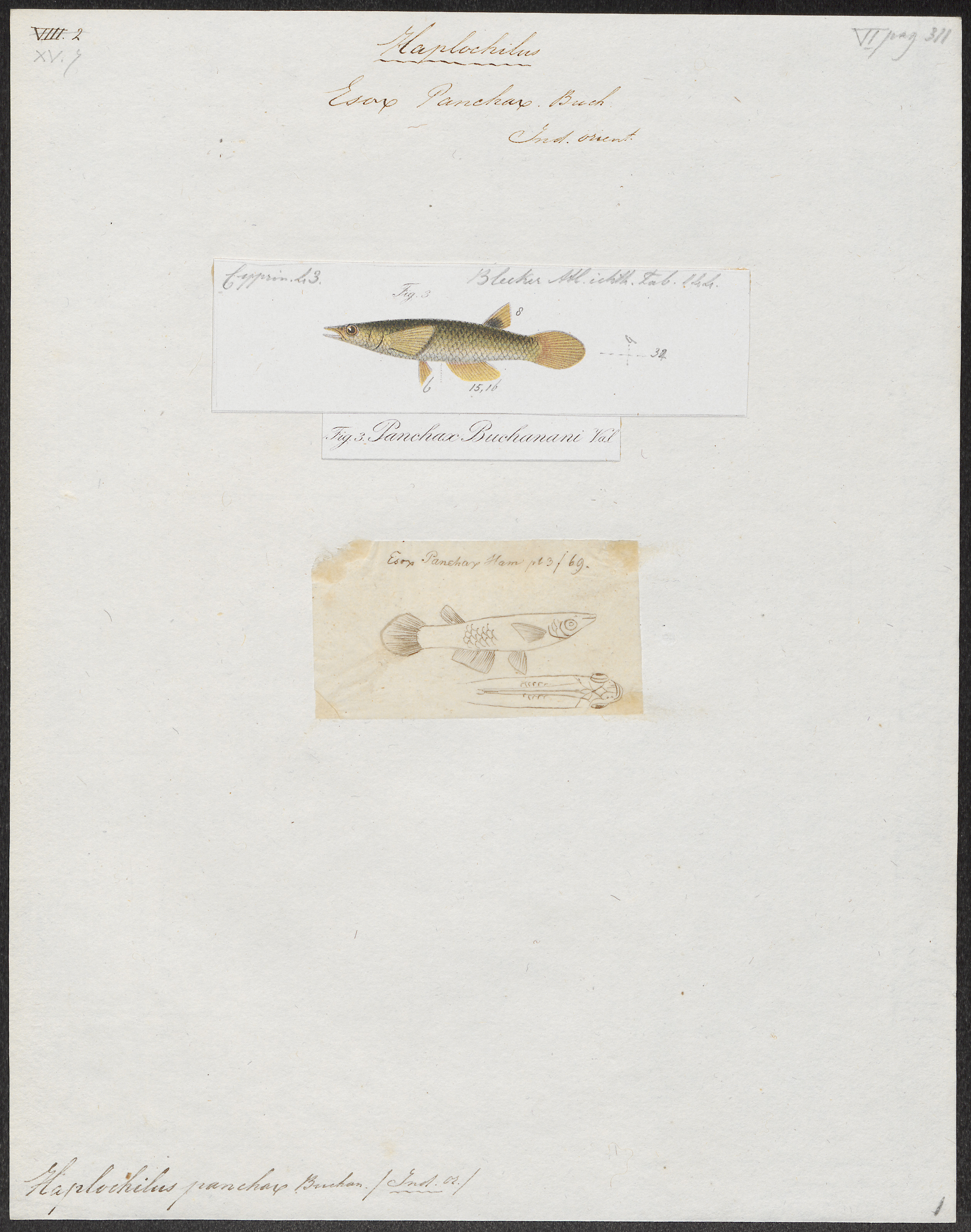Image of <i>Aplocheilus panchax</i> (Hamilton 1822)