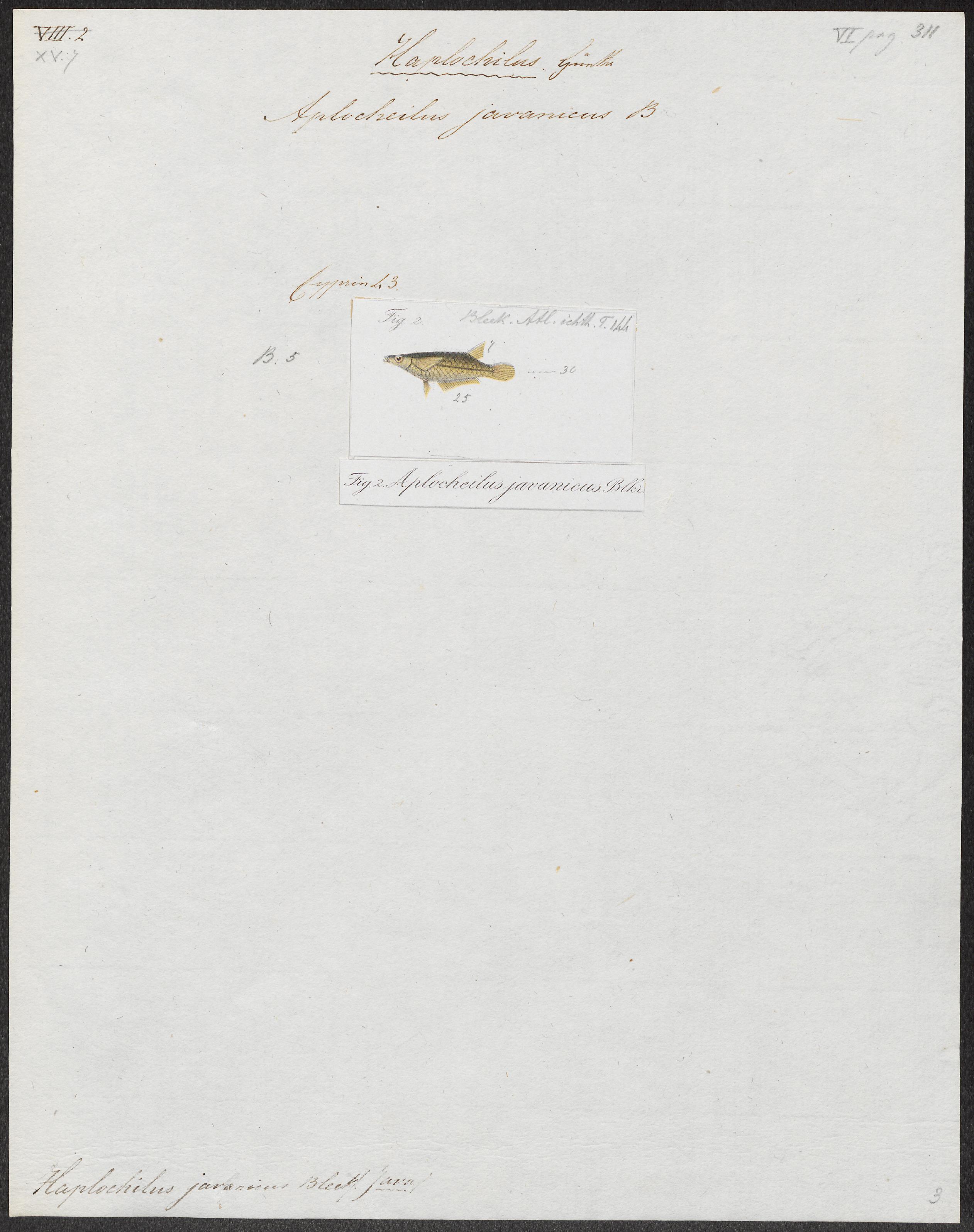 Image of Javanese ricefish