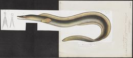 Image of Daggertooth pike conger