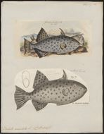 Image of Ocean Triggerfish