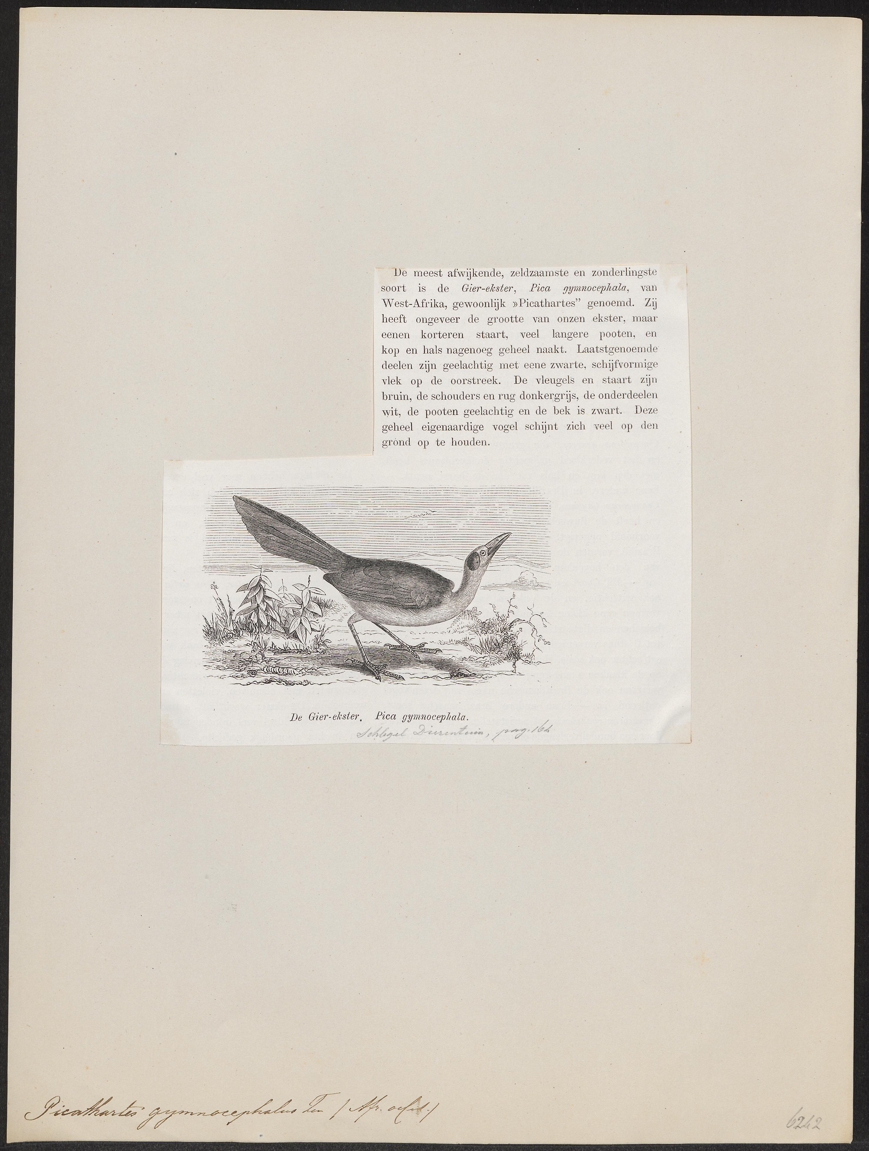 Image of Bare-headed Rockfowl