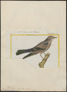 Image of <i>Agropsar sturninus</i> (Pallas 1776)