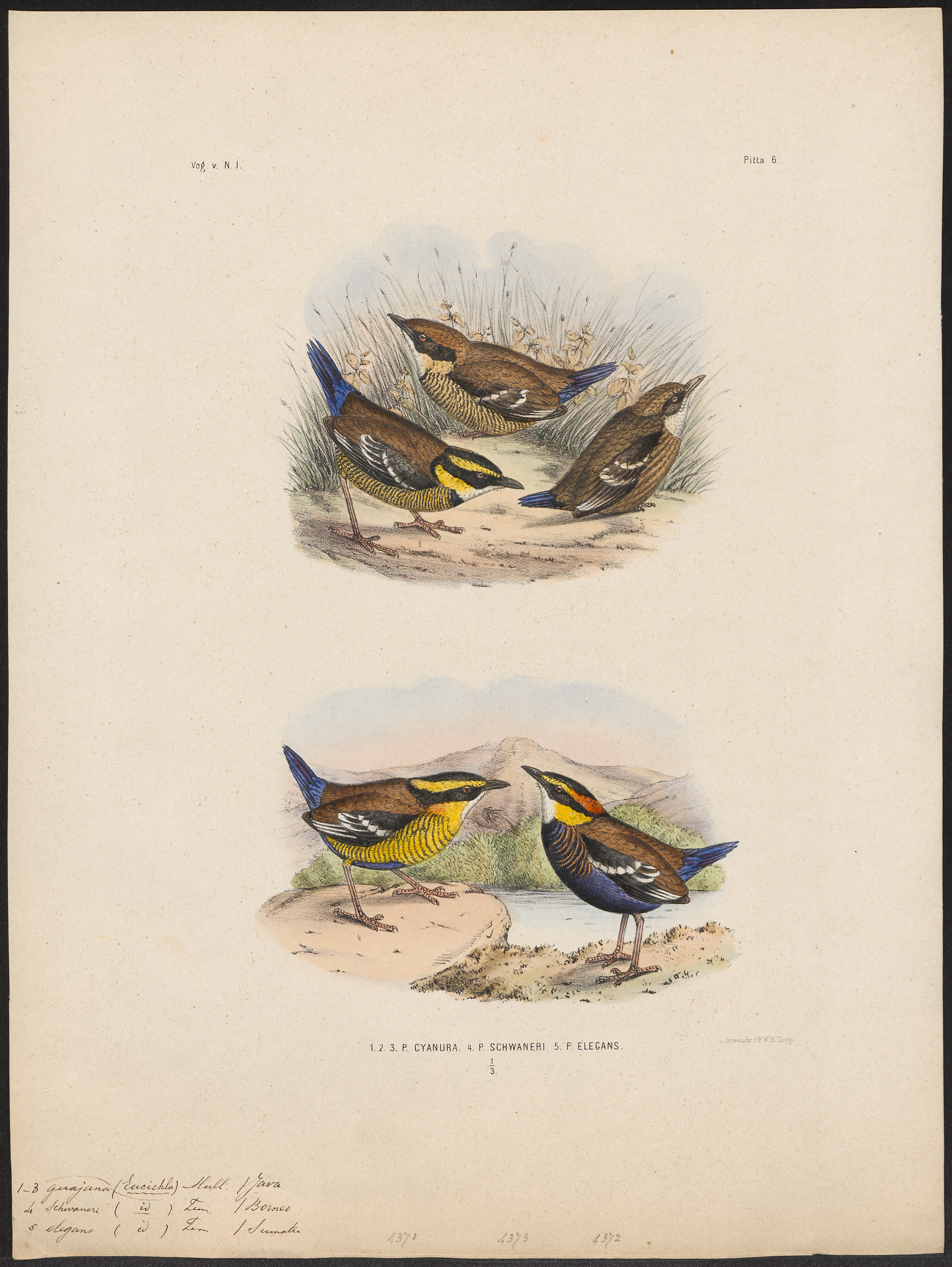 Image of <i>Hydrornis guajana</i>