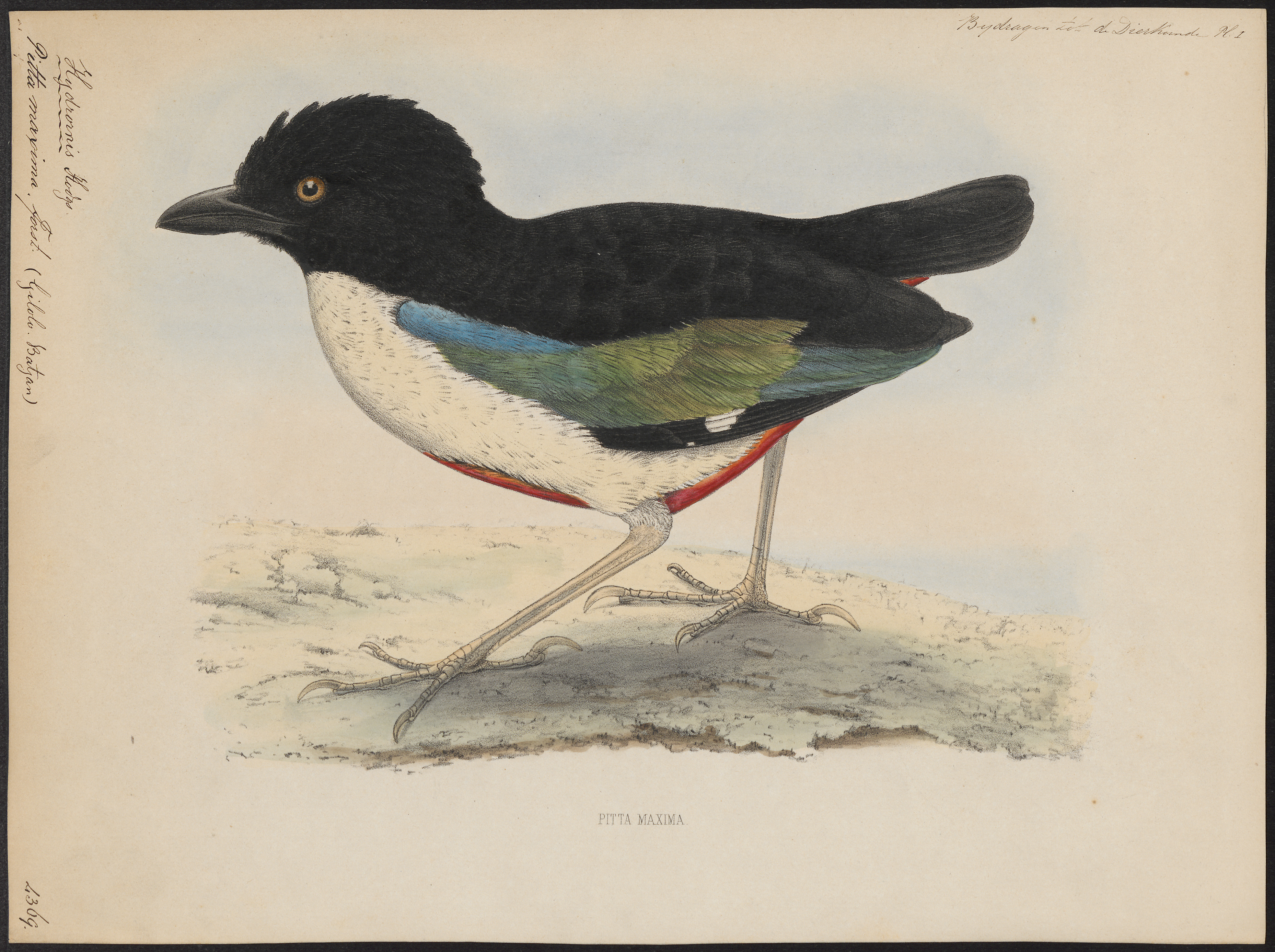 Image of Ivory-breasted Pitta