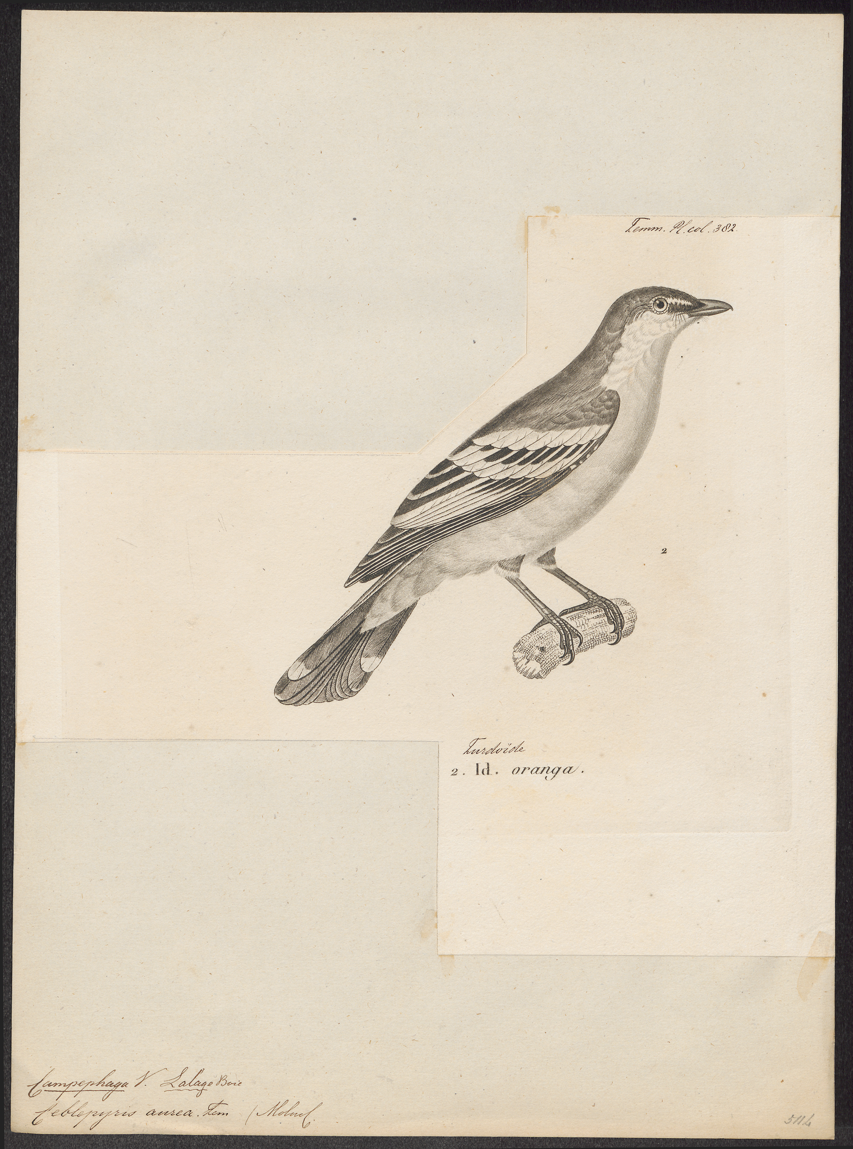 Image of Rufous-bellied Triller