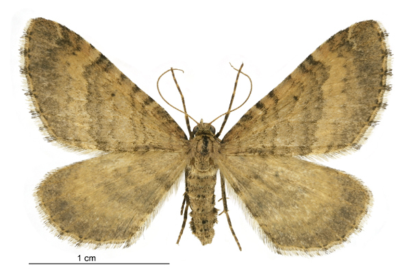 Image of <i>Asaphodes aegrota</i>