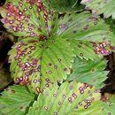 Image of <i>Mycosphaerella fragariae</i>