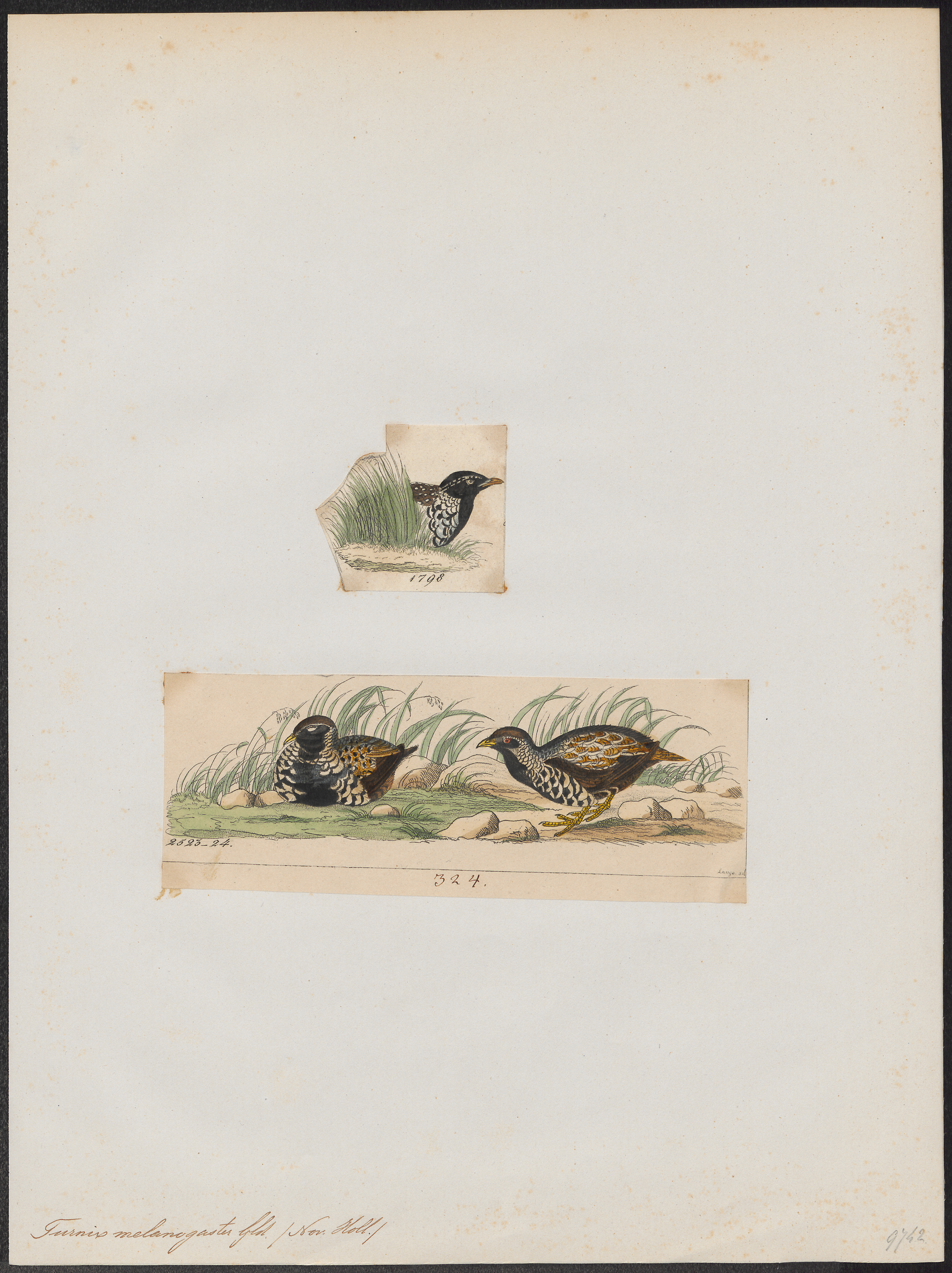 Image of Black-breasted Button-quail