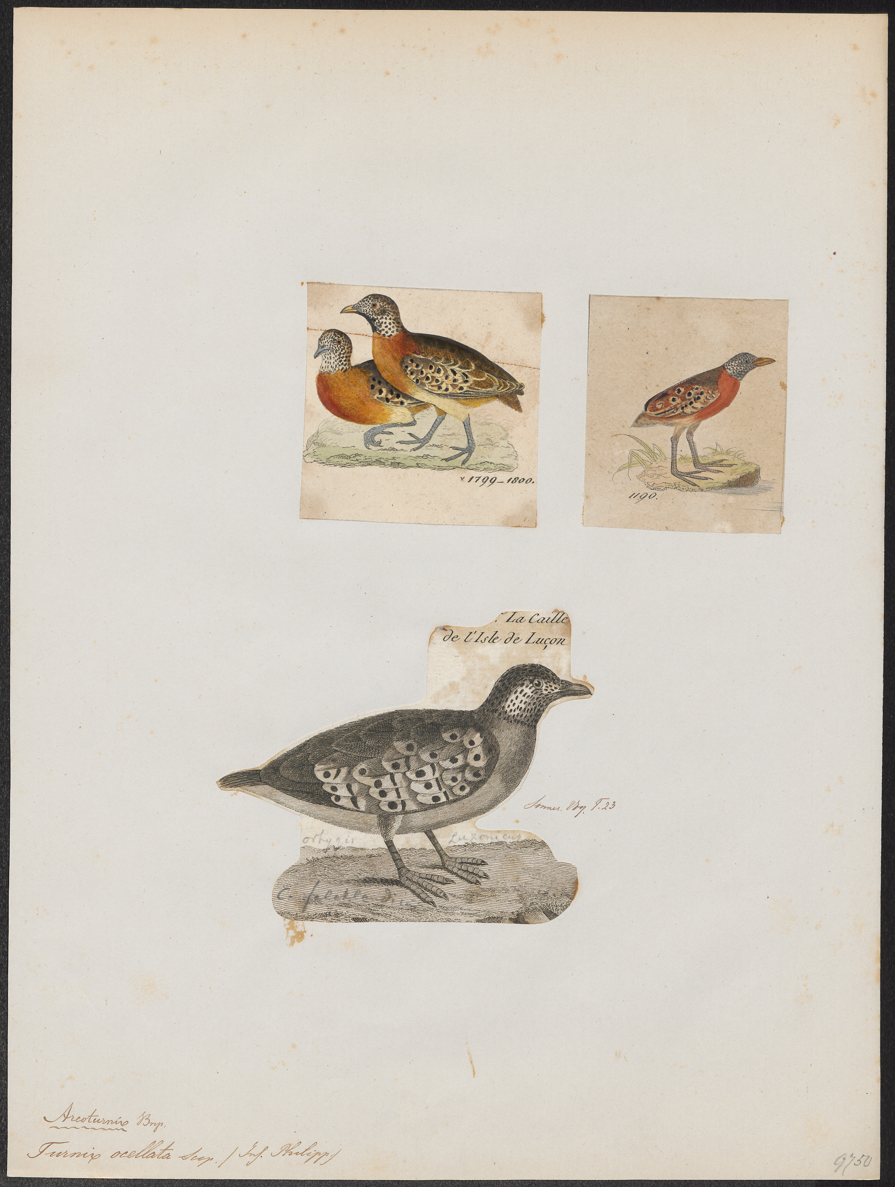 Image of Spotted Buttonquail
