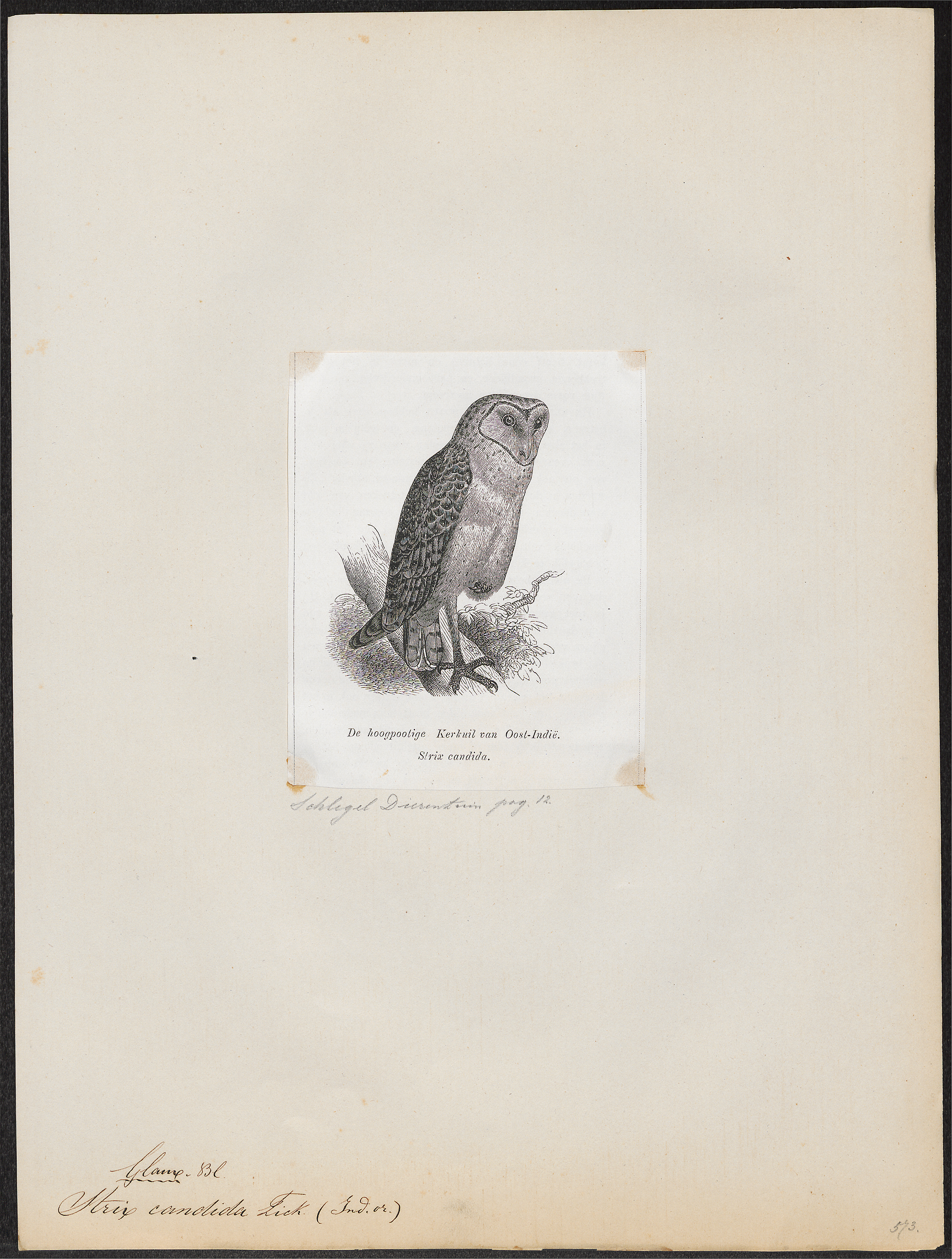Image of Eastern Grass Owl