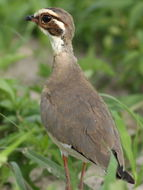 Image of Bronze-winged Courser