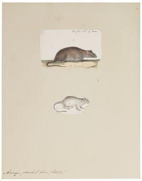Image of Greater Bandicoot Rat