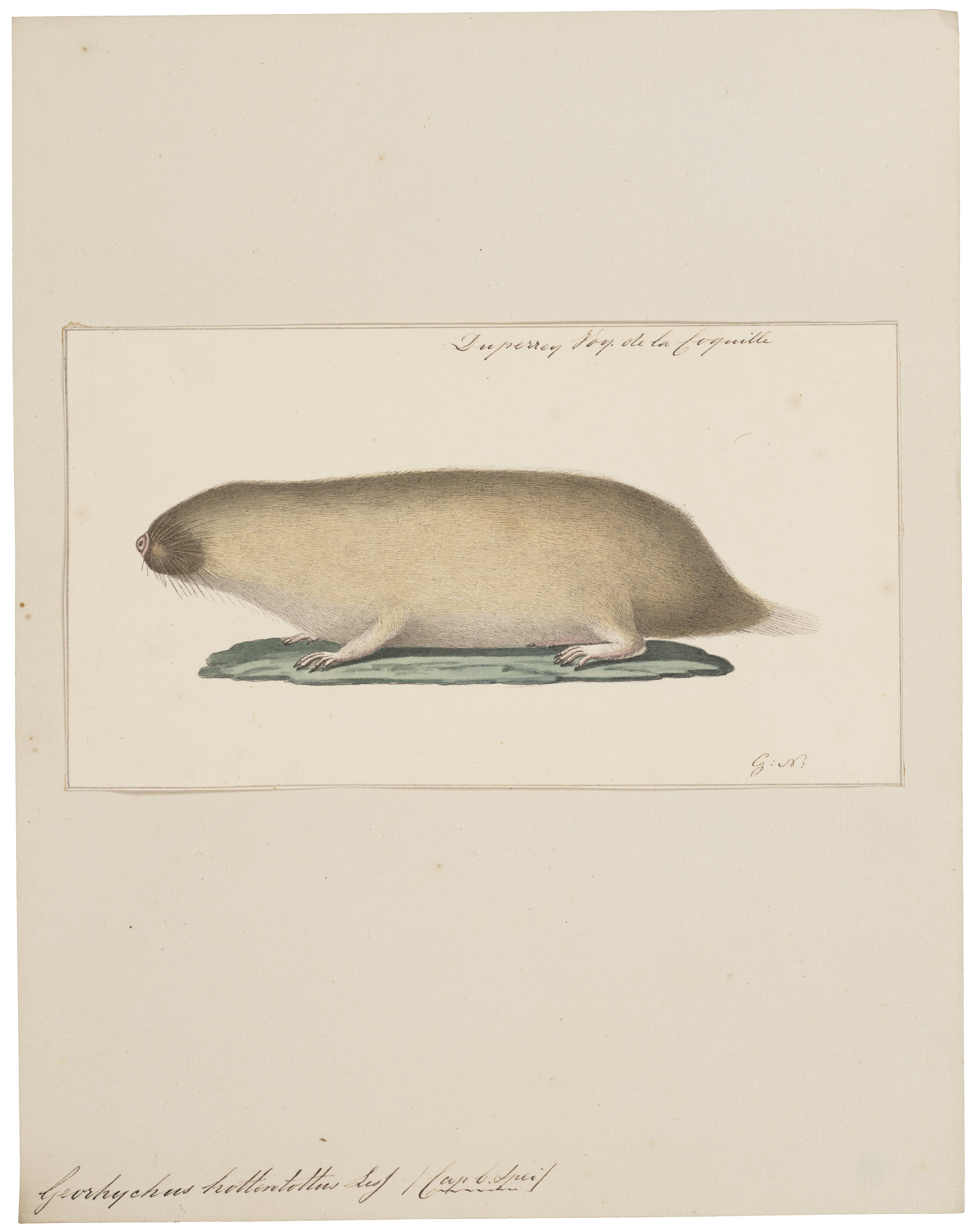 Image of African Mole Rat