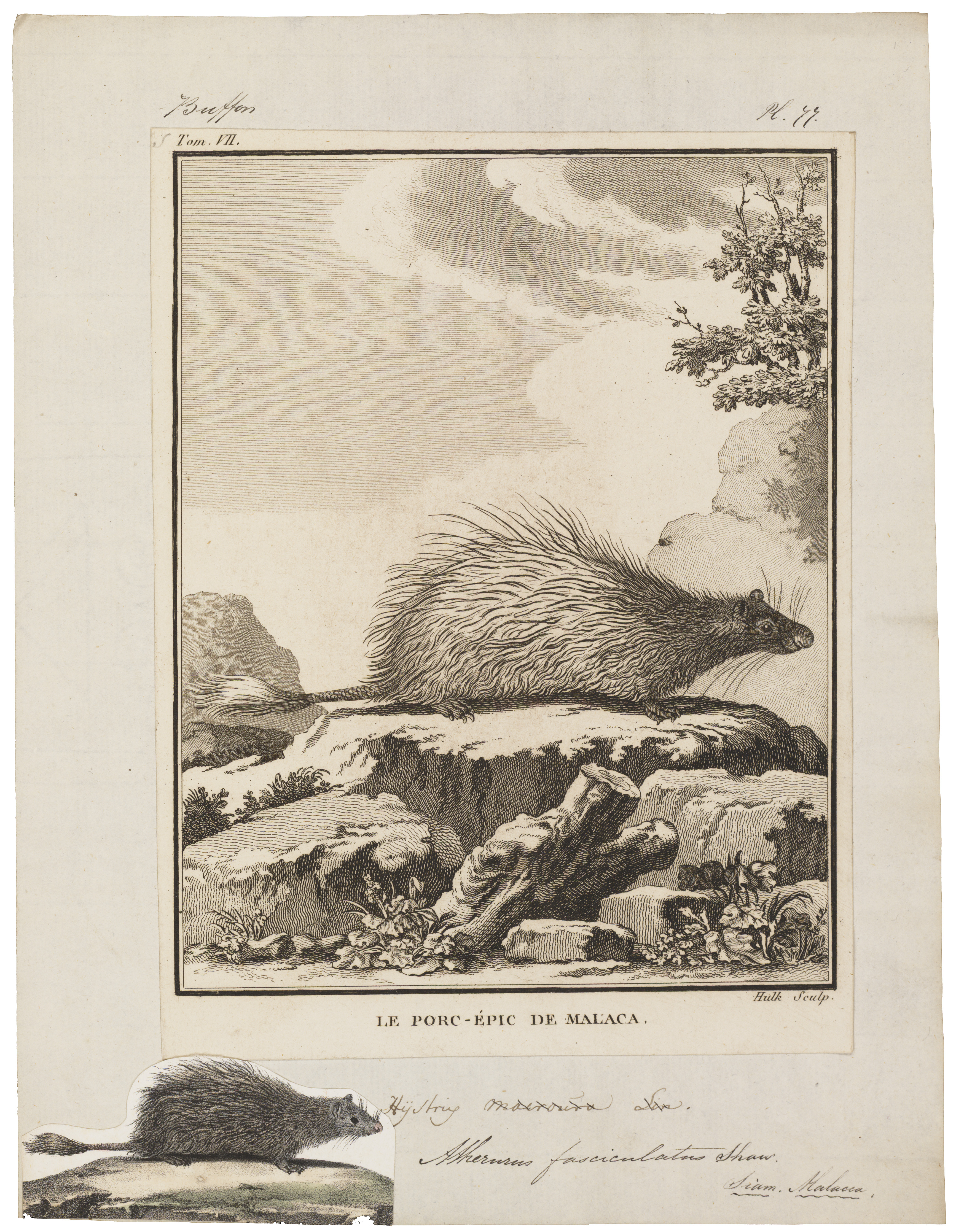 Image of Long-tailed Porcupine