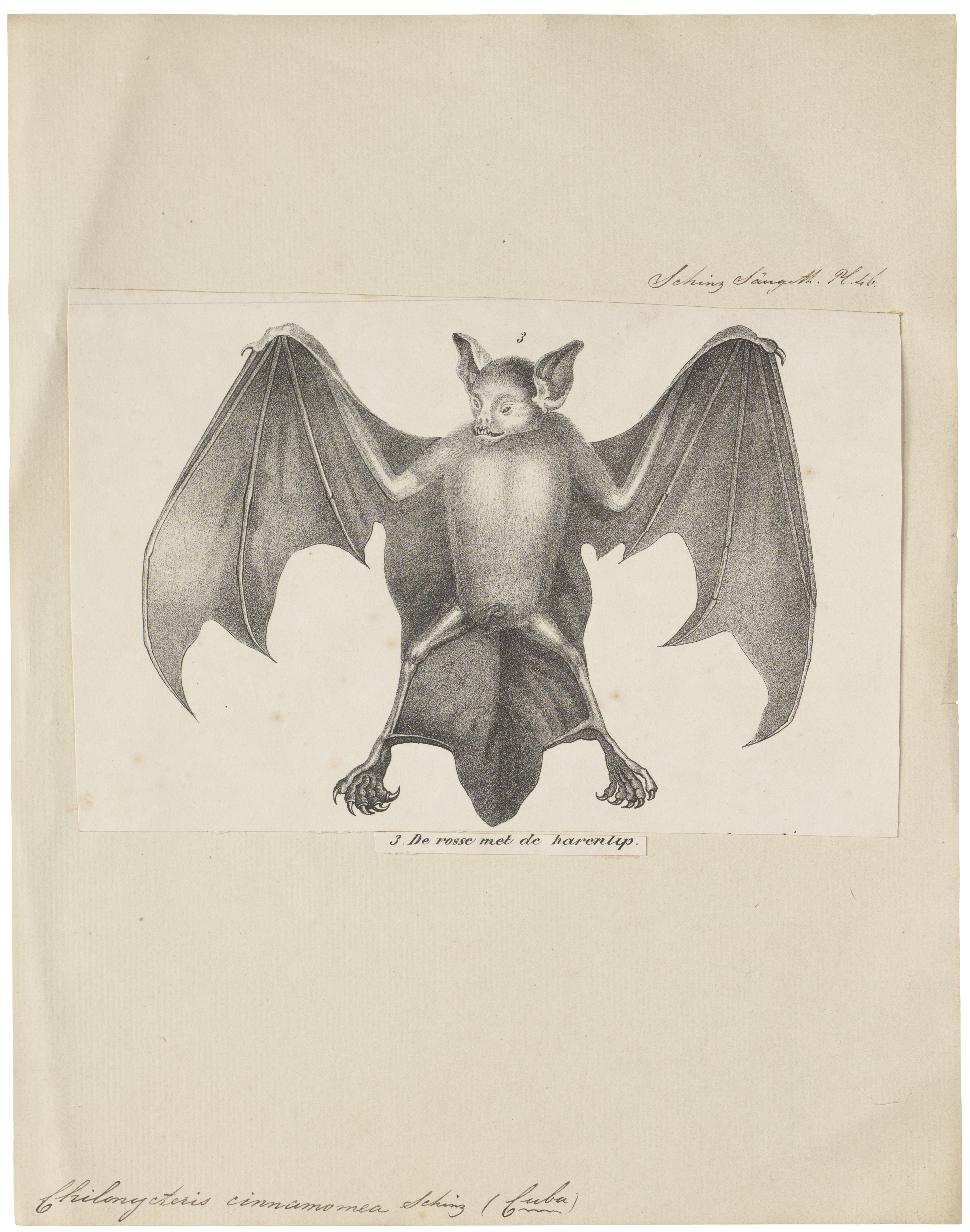 Image of mustached bat