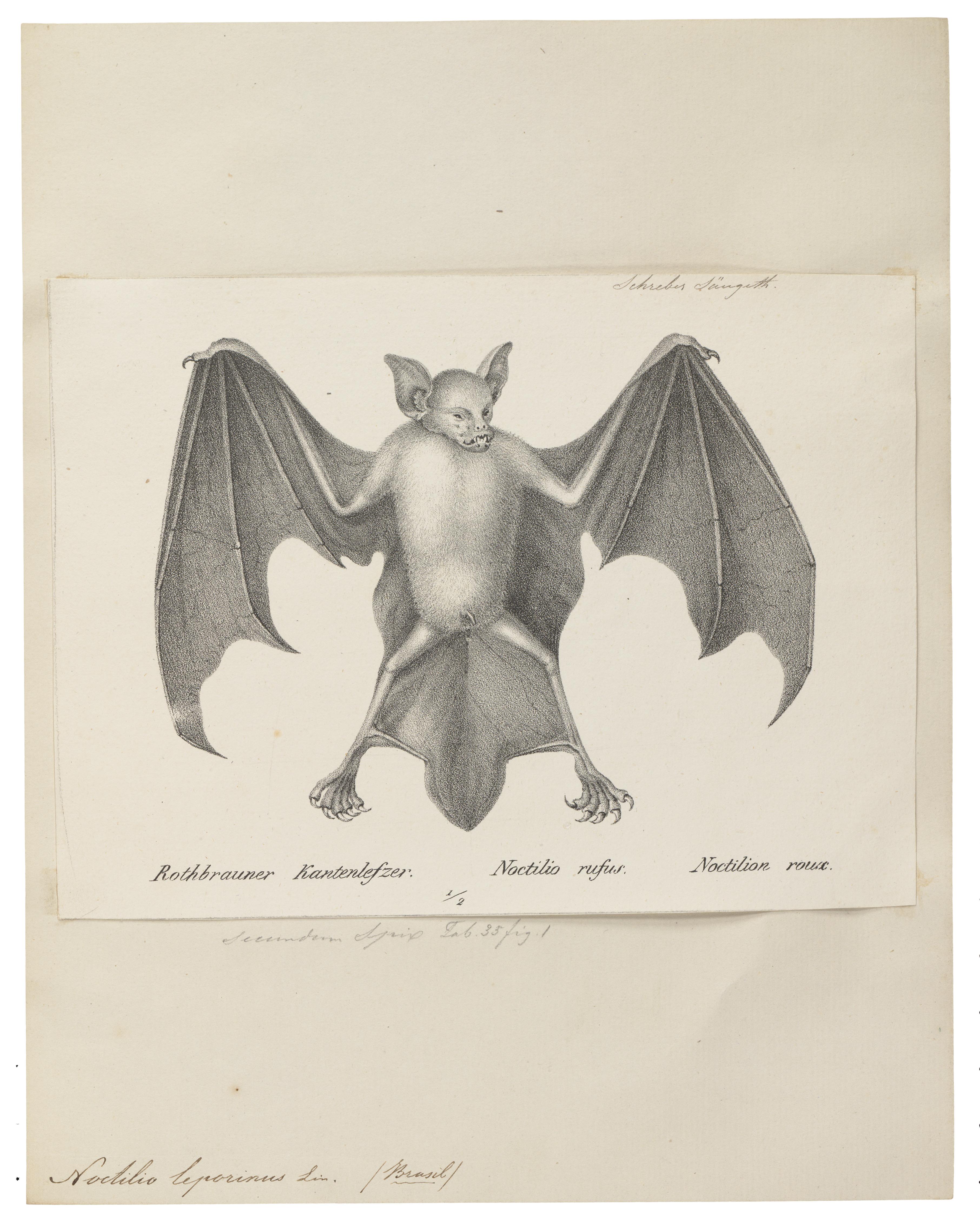Image of Fisherman Bat
