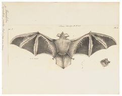 Image of Painted Bat