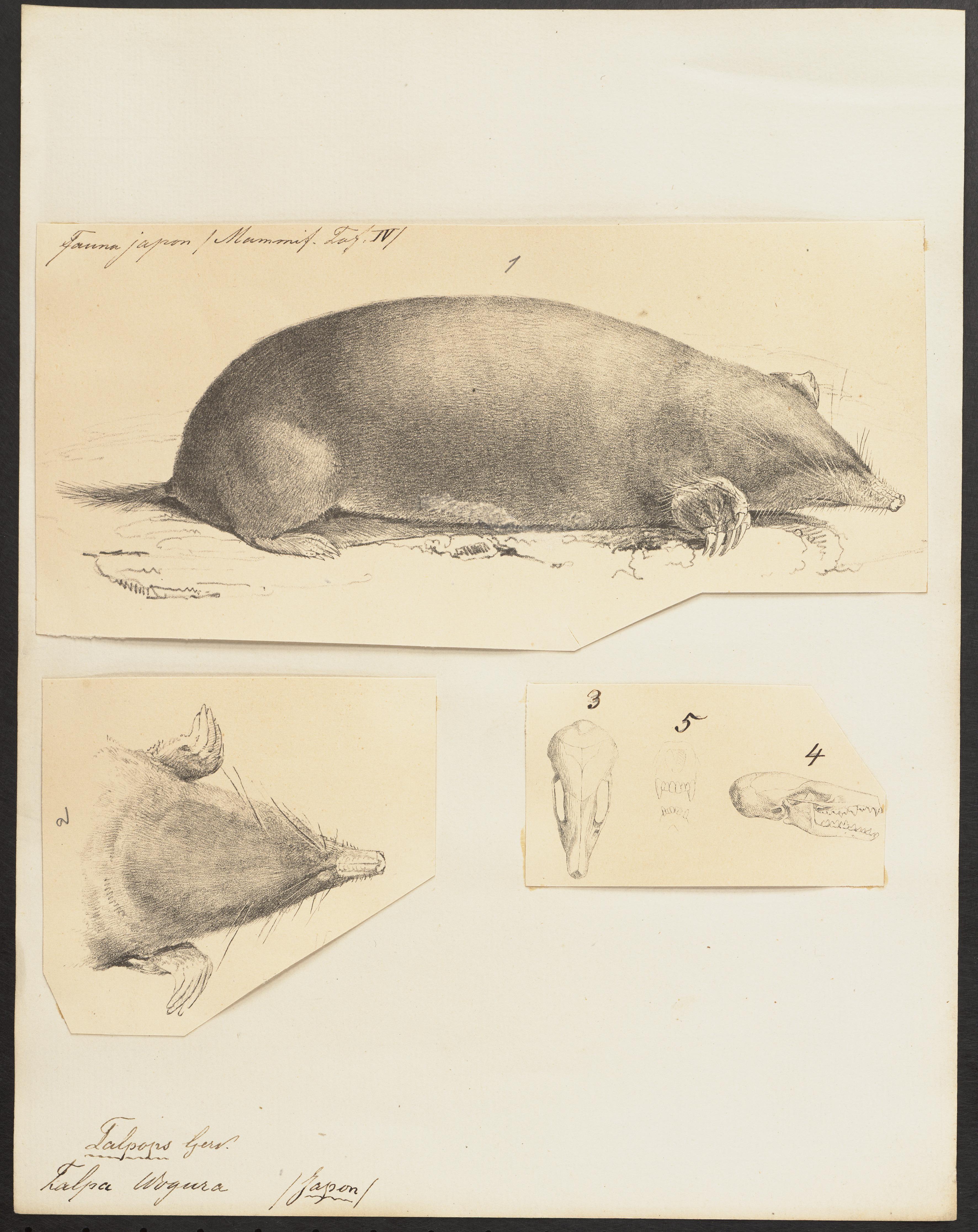 Image of Japanese mole