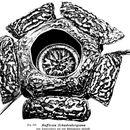 Image of <i>Rafflesia schadenbergiana</i> Goepp. ex Hieron.