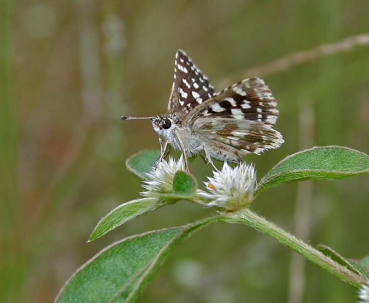 Image of <i>Spialia galba</i> Fabricius 1793