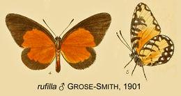 Image of <i>Telipna rufilla</i> (Grose-Smith 1901)