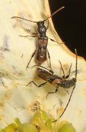Image of <i>Molorchus bimaculatus</i> Say 1824