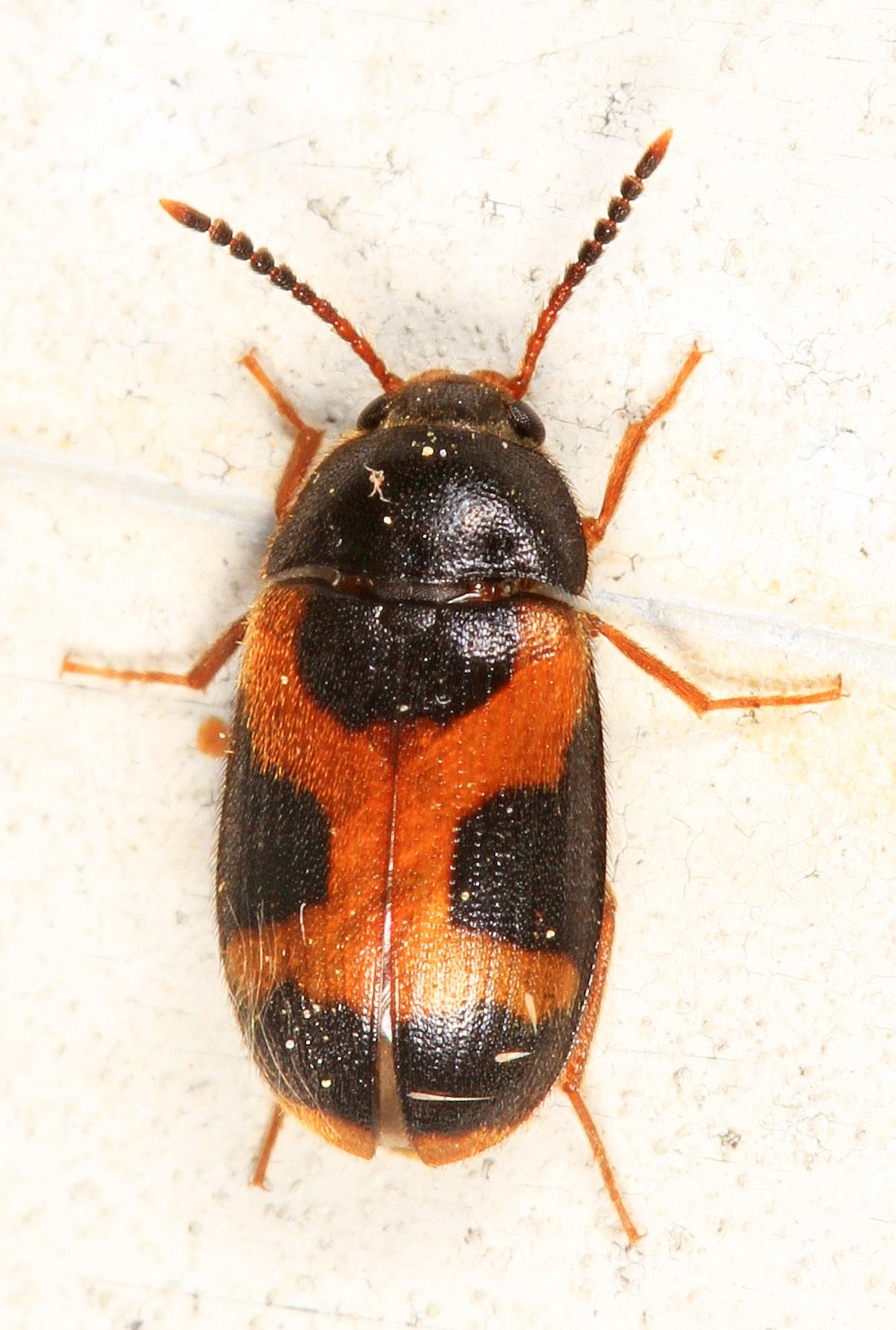 Image of <i>Mycetophagus punctatus</i> Say 1826