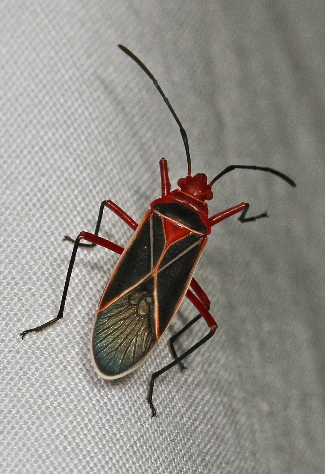 Image of Cotton Stainer