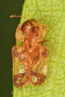 Image of Corythucha