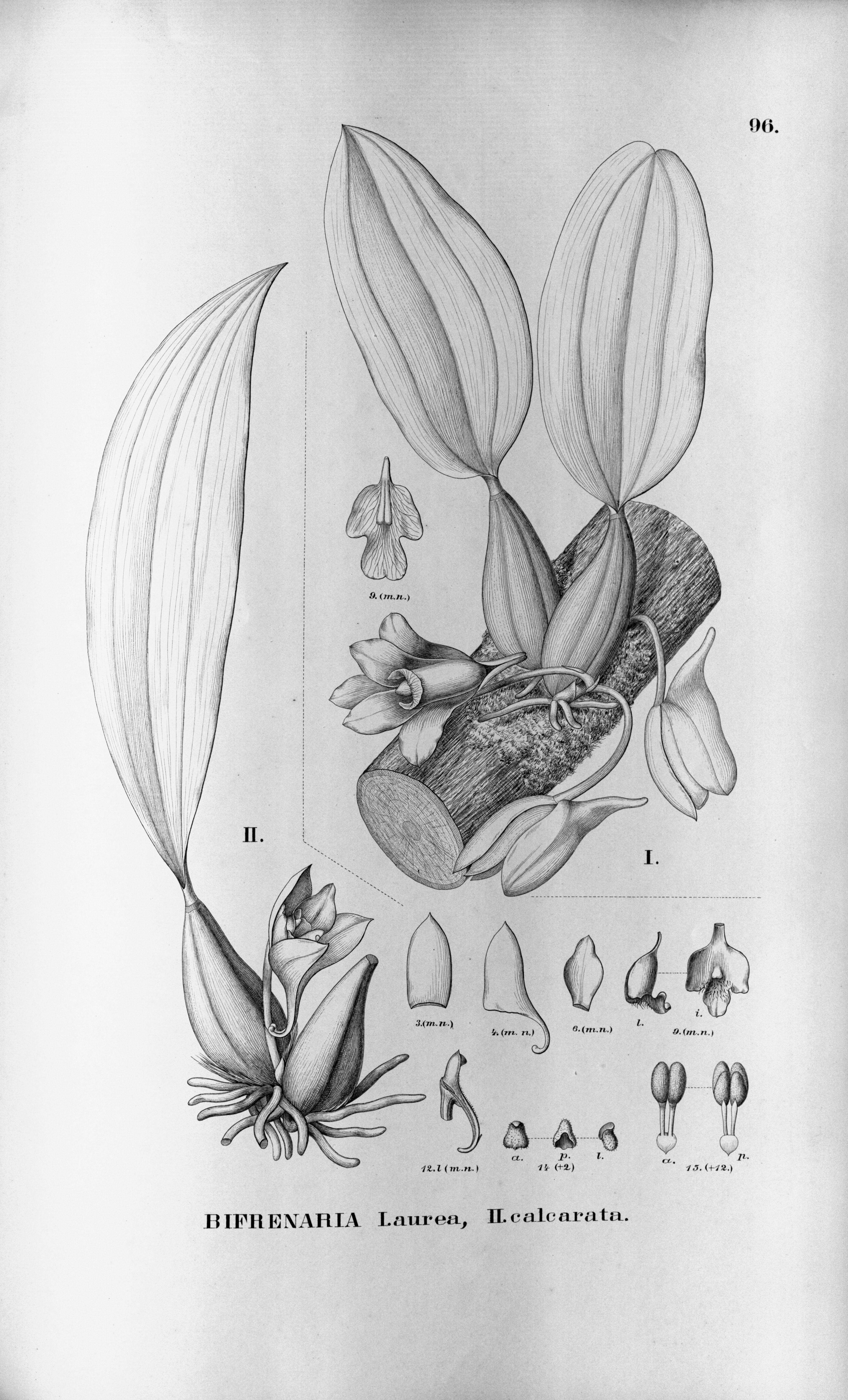Image of <i>Bifrenaria calcarata</i> Barb. Rodr.