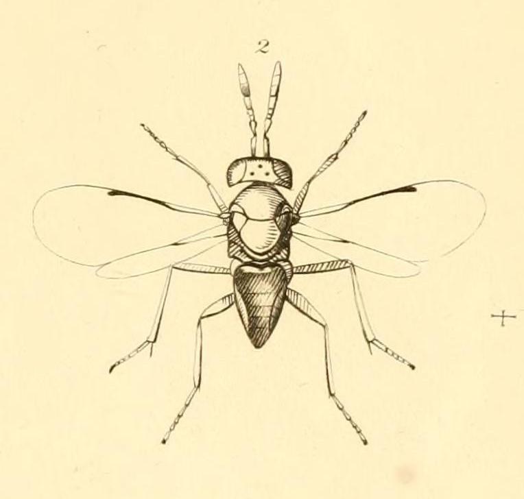 Image of <i>Aphelinus abdominalis</i> (Dalman 1820)