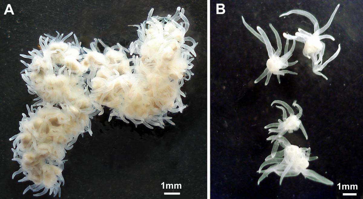 Image of <i>Polypodium hydriforme</i>