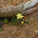 Image of <i>Moraea bituminosa</i> (L. fil.) Ker Gawl.