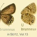 Image of <i>Capys brunneus</i> Aurivillius 1916
