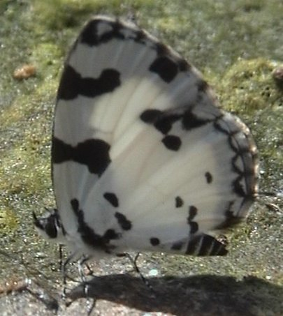 Image of Angled Pierrot