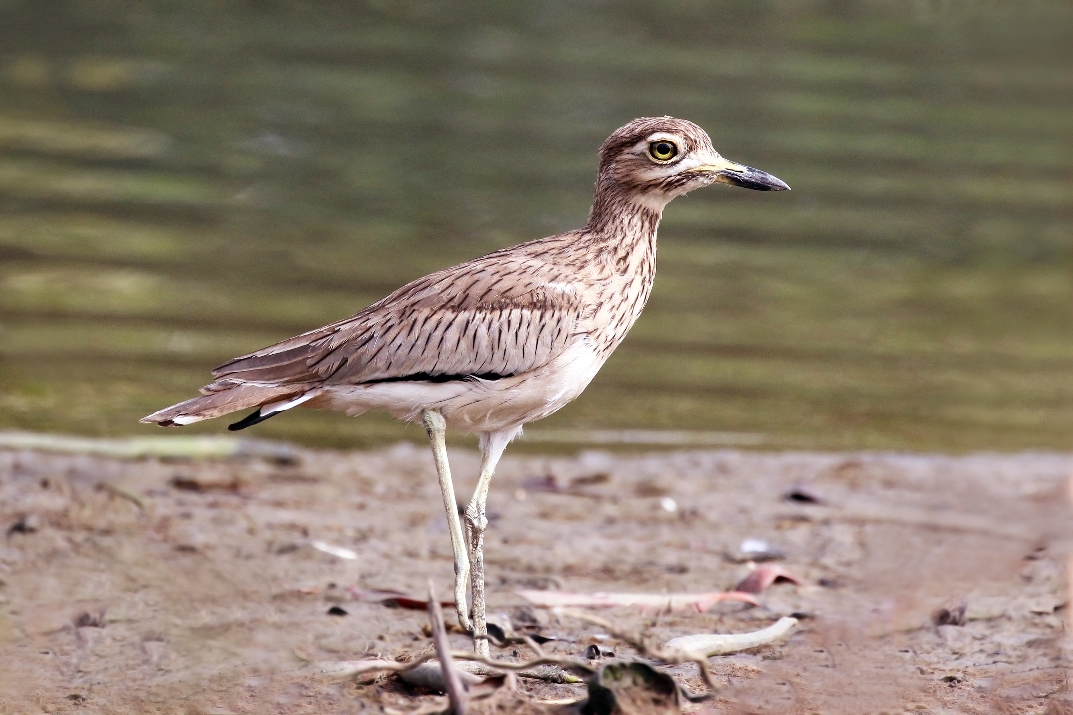 Image of Senegal Thick-knee