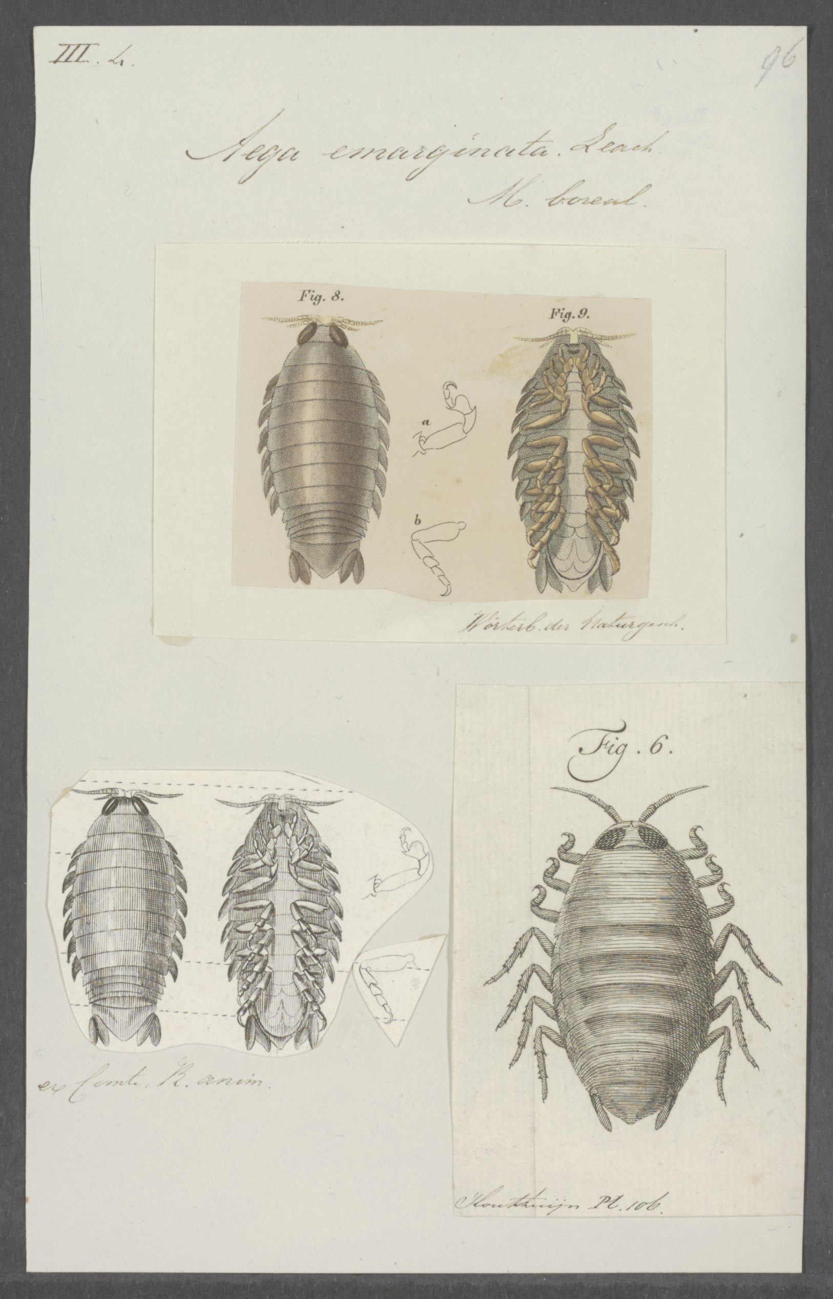 Image of fish louse